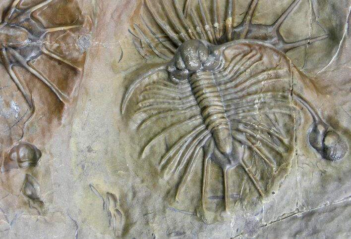 "1.1"" Unidentified Lichid Trilobite From Jorf - Belenopyge Like"