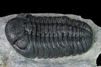 "2.15"" Detailed Morocops Trilobite - Ofaten, Morocco For Sale, #138953"