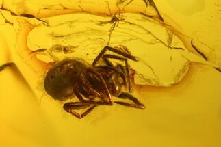 Buy Detailed Fossil Spider (Araneae) in Baltic Amber - #139045