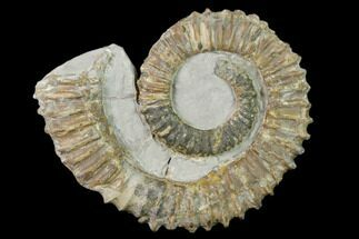 "3.6"" Aegocrioceras Ammonite - Germany For Sale, #139139"
