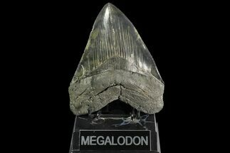 "Serrated, 5.36"" Fossil Megalodon Tooth - Colorful Enamel For Sale, #138989"