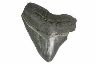 "Buy 2.98"" Posterior Megalodon Tooth - South Carolina - #130822"