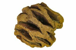 "Buy .65"" Fossil Pine Cone (Metasequoia) - Montana - #139174"