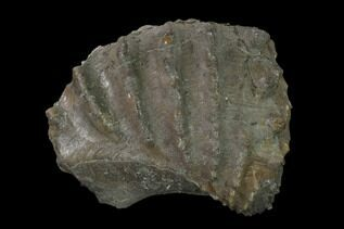 Other Fossil Shellfish For Sale