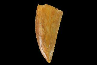 "Serrated, .8"" Raptor Tooth - Real Dinosaur Tooth For Sale, #139382"