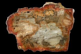 "Buy 4.5"" Petrified Wood (Araucaria) Slab - Madagascar  - #139576"