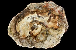 "Buy 11.1"" Polished Petrified Wood (Araucaria) Round - Madagascar  - #139780"