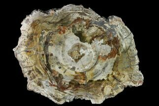 "12.8"" Colorful Petrified Wood (Araucaria) Round - Madagascar  For Sale, #140333"