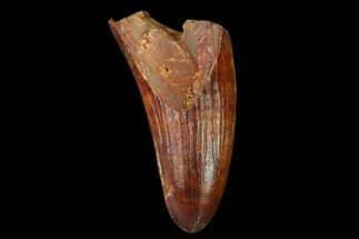 "1.18"" Cretaceous Fossil Crocodile Tooth - Morocco For Sale, #140594"