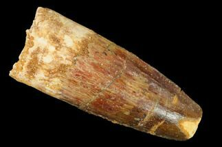 "1.63"" Spinosaurus Tooth - Real Dinosaur Tooth For Sale, #140735"
