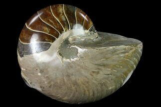 "Buy 5.8"" Polished Fossil Nautilus (Cymatoceras) - Madagascar - #140425"