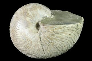 Cymatoceras sp. - Fossils For Sale - #140436