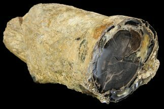 "2.75"" Wide Petrified Wood (Schinoxylon) Limb - Blue Forest, Wyoming For Sale, #141431"