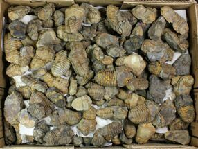 "Buy Wholesale Box: 2-3"" Fossil Calymene Trilobite - 450 Pieces - #140824"