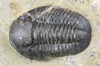"Bargain, .7"" Detailed Gerastos Trilobite Fossil - Morocco For Sale, #141674"