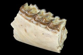 "Buy 1.35"" Fossil Horse (Mesohippus) Jaw Section - South Dakota - #140899"