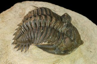 "1.8"" Metacanthina Trilobite - Lghaft, Morocco For Sale, #141977"