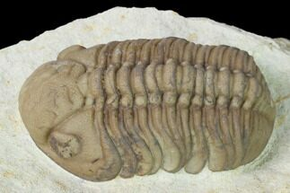 "Buy 1.7"" Lochovella (Reedops) Trilobite - Black Cat Mountain, Oklahoma - #142069"