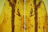 Fossil Thuja Twig (Pinales) & Mite (Acari) In Baltic Amber - #142207-1