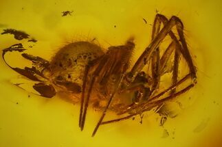 Buy Detailed Fossil Spider (Araneae) in Baltic Amber - #142219