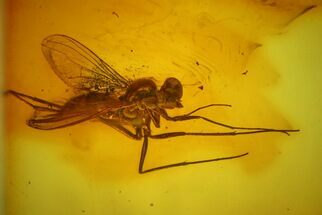 Buy Detailed Fossil Fly (Diptera) In Baltic Amber - #142228