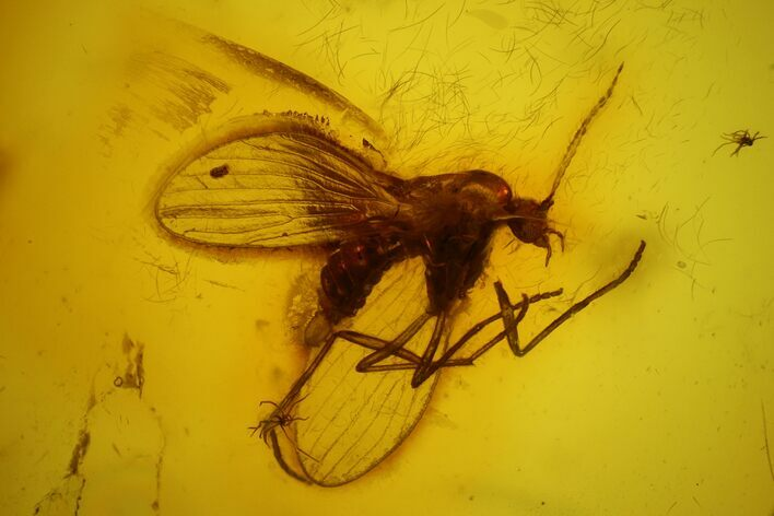 Fossil Moth fly (Psychodidiae) & Fly (Diptera) In Baltic Amber