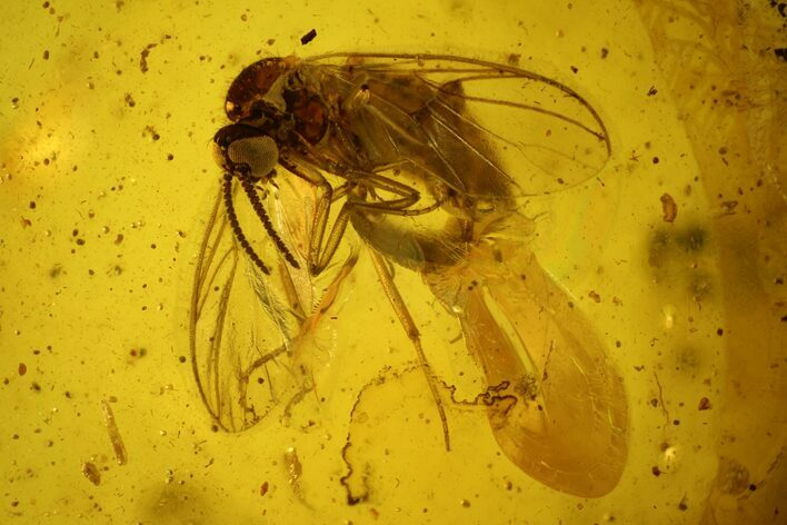 Detailed Fossil Ant, Fly and Mite in Baltic Amber
