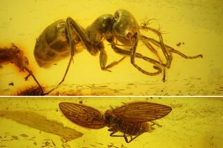 Fossil Moth fly (Psychodidiae) & Ant (Formicidae) In Baltic Amber For Sale, #142235