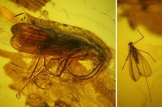 Buy Fossil Caddisfly (Trichoptera) & Fly (Diptera) in Baltic Amber - #142243