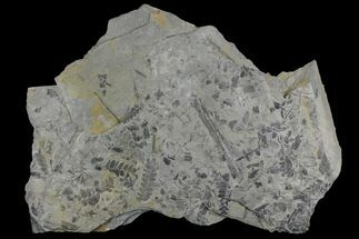 "13"" Fossil Flora (Neuropteris &  Sphenophyllum) Plate - Kentucky For Sale, #142442"