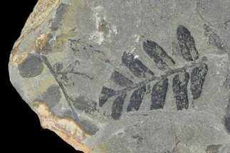 "2.5"" Pennsylvanian Fossil Fern (Neuropteris) Plate - Kentucky For Sale, #142403"