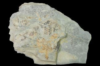 Sphenopteris sp. - Fossils For Sale - #142425