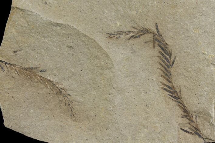 Dawn Redwood (Metasequoia) Fossils - Montana