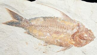 "Buy Beautiful Orange Nematonotus Fossil Fish - 4.6"" - #9472"