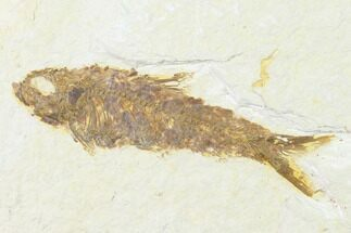 "3.3"" Fossil Fish (Knightia) - Wyoming For Sale, #143468"