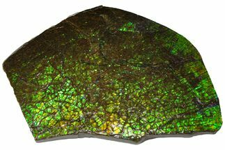 "7.1"" Iridescent Ammolite (Fossil Ammonite Shell) - Alberta, Canada For Sale, #143525"