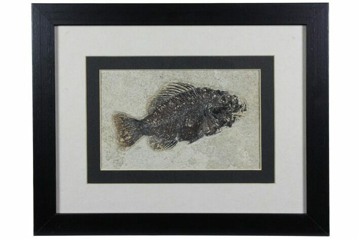 "4.5"" Framed Fossil Fish (Cockerellites) - Wyoming"