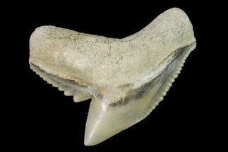 "Buy 1.15"" Fossil Tiger Shark (Galeocerdo) Tooth -  Aurora, NC - #143929"