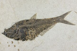 "Buy Large, 16.9"" Fossil Fish (Diplomystus) - Wyoming - #144001"