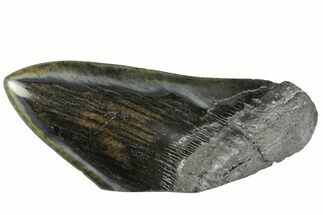 "Buy 5.63"" Polished, Fossil Megalodon Tooth ""Paper Weight"" - #144400"