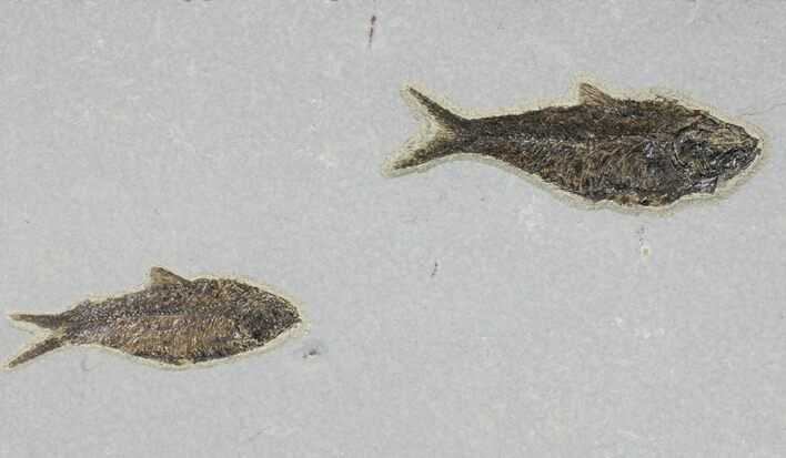 Two Large Knightia From Cap Layer - Green River Formation