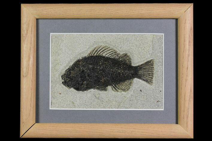 "4"" Framed Fossil Fish (Cockerellites) - Wyoming"