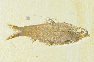 "3.35"" Fossil Fish (Knightia) - Wyoming For Sale, #144200"