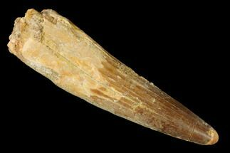 "2.81"" Spinosaurus Tooth - Real Dinosaur Tooth For Sale, #144995"