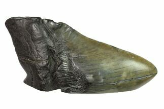 Carcharocles megalodon - Fossils For Sale - #144411