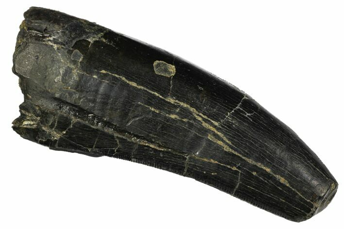 "2.67"" Serrated, Tyrannosaur Tooth - Two Medicine Formation"
