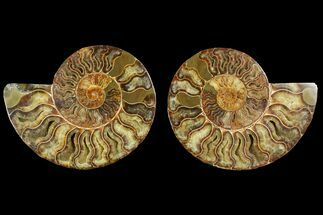 Cleoniceras - Fossils For Sale - #144105