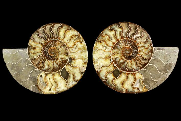"10.6"" Agatized Ammonite Fossil (Pair) - Very Large"