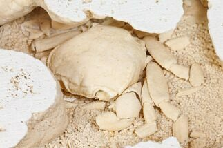 "Buy 3"" Fossil Crab (Potamon) Preserved in Travertine - Turkey - #145051"