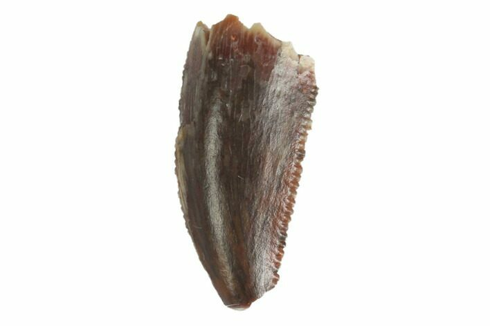 "Bargain, .41"" Raptor Tooth - Real Dinosaur Tooth"